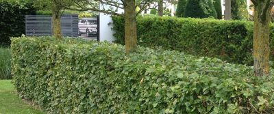 deciduous hedge plant