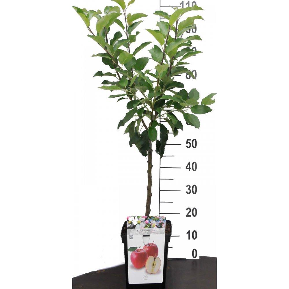 apfel zwergobstbaum oder mini obstbaum apfelbaum malus. Black Bedroom Furniture Sets. Home Design Ideas