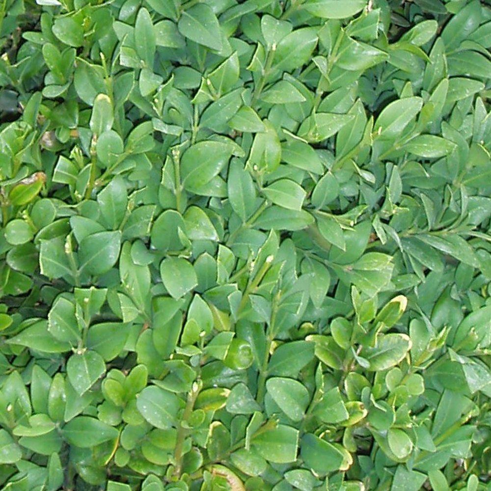 Immergrüne Hecken immergr ne hecke aus kirschlorbeer hoche hecken