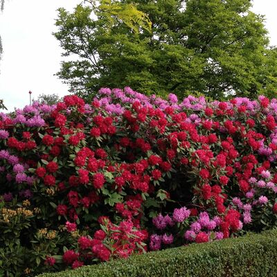 Rhodondendron Red Jack