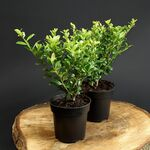Japanese holly  green hedge