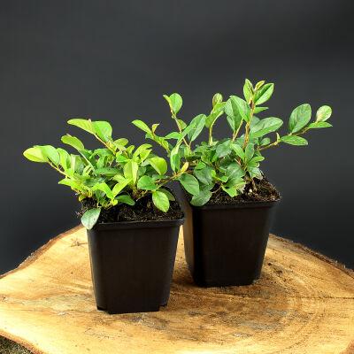bodendecker pflanzen f r jeden garten zu kaufen bei intragarten. Black Bedroom Furniture Sets. Home Design Ideas