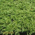 Green Carpet Juniper