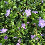lesser periwinkle or dwarf periwinkle