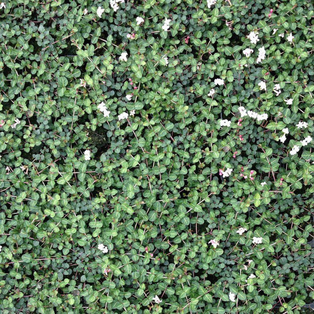 60 Stück Mitchella Repens immergrüne echte  Rebhuhnbeere Bodendecker Heilpflanze