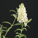 butterfly bush White Profusion