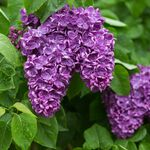common lilac Charles Joly