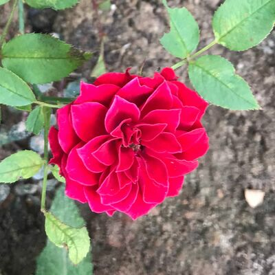 Bodendeckerrose Rot