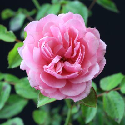 Bodendeckerrose Rosa 215