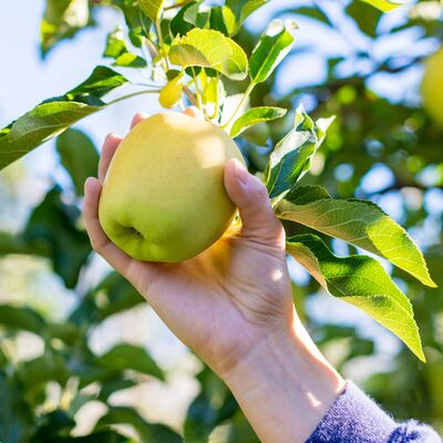 Zwergobstbaum Apfel Golden Delicious 1755