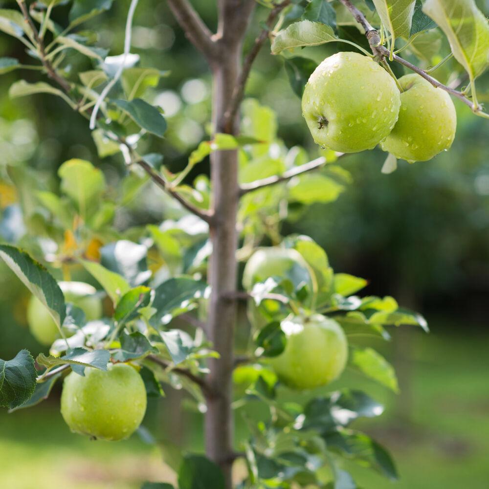 Granny Smith knackiger süßsäuerlicher Apfel Spindelbaum 100-120 cm 5 Liter Topf
