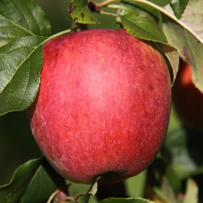 Apfelbaum /'Rode Boskoop/' Schmitz Hübsch winterharte Pflanze 150-170cm im Topf
