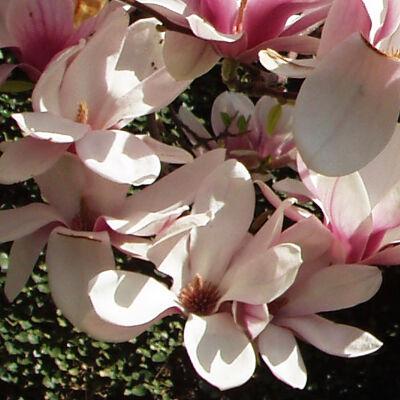 tulpen magnolie 4 95. Black Bedroom Furniture Sets. Home Design Ideas