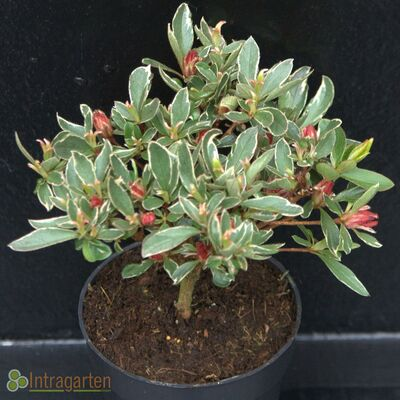 Torch azalea Hot Shot Variegata