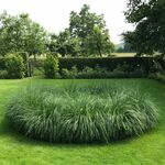 Chinese fountaingrass or dwarf fountain grass
