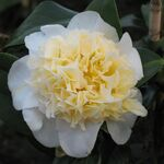 Japanese camellia or Rose of Winter