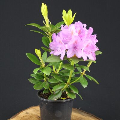 catawba rhododendron or mountain rosebay