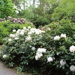 Cunninghams White rhododendron