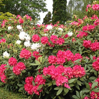 Tall Hybrid Rhododendron