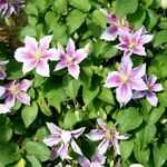 vine clematis Nelly Moser