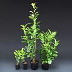 cherry laurel novita