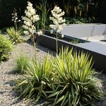 Adams needle, palm lily, common yucca