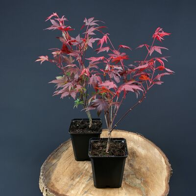 palmate maple, Japanese maple