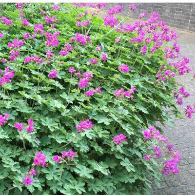 Bodendecker Pflanzen Für Jeden Garten Zu Kaufen Bei Intragarten
