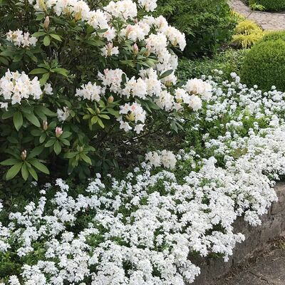 garden candytuft or globe candytuft