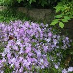 Moss Phlox or Creeping phlox