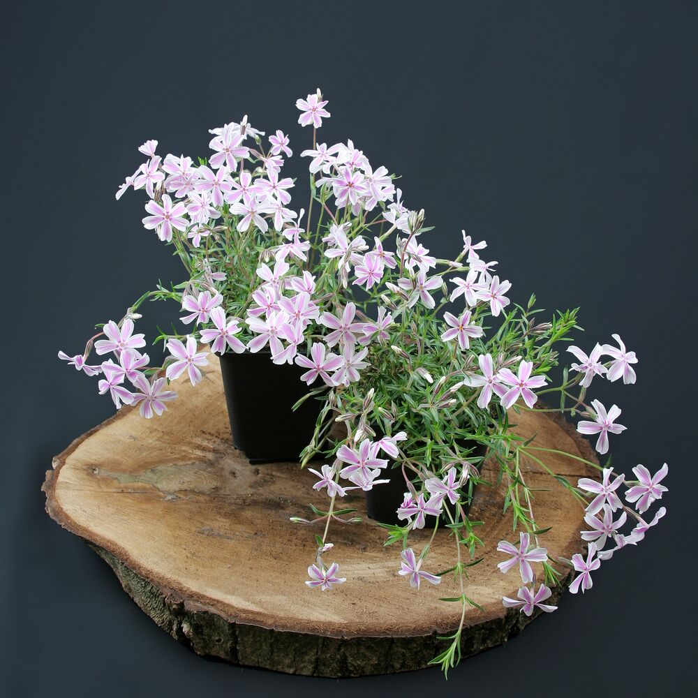 teppichphlox flammenblume wei rosa 1 50. Black Bedroom Furniture Sets. Home Design Ideas