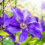 vine clematis The President