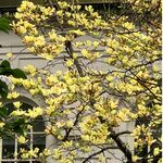 Yellow Lily Magnolia