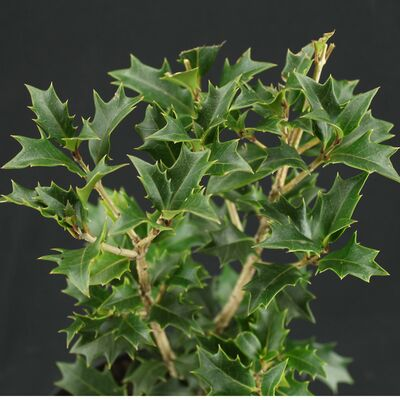 holly osmanthus
