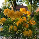 Rhododendron golden flare