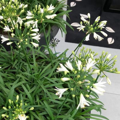 african lily white