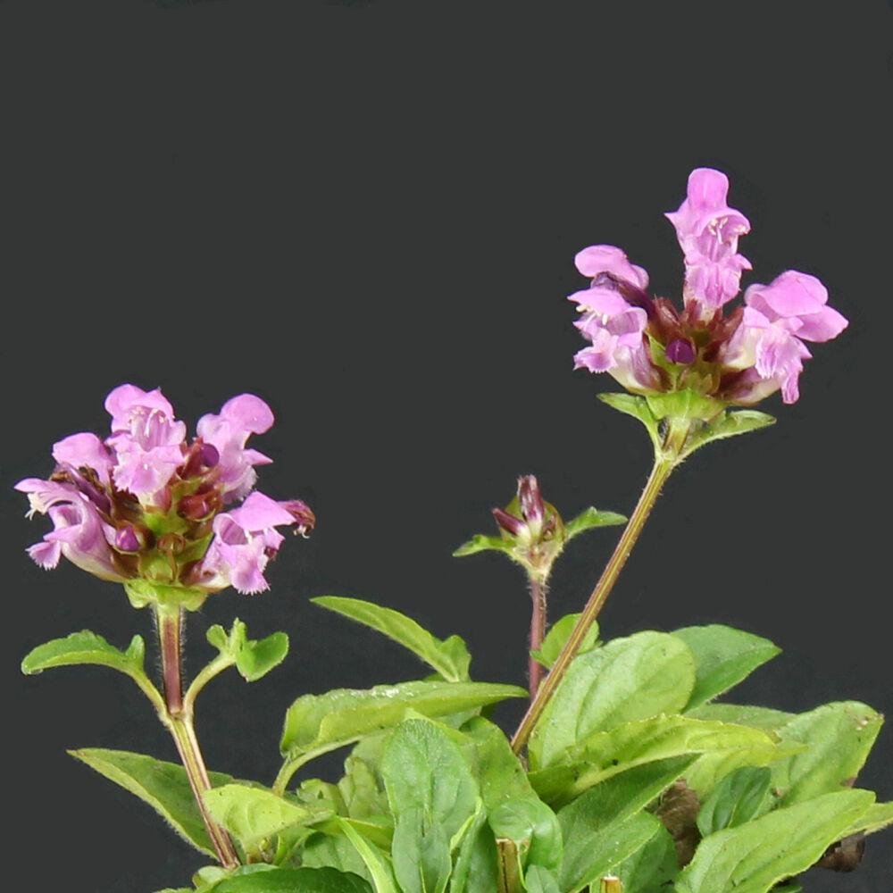 Großblütige Braunelle 'Bella Rose', 1,44