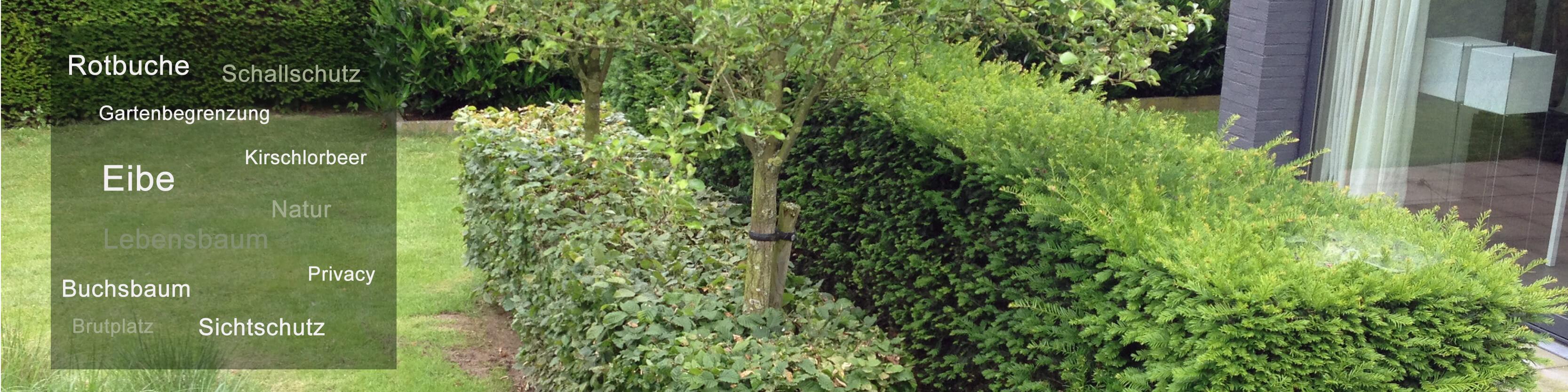 Heckenpflanzen von Intragarten - Thuja ab 1,50 Euro